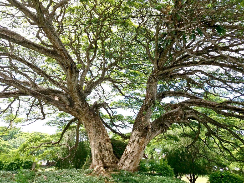 lazi tree