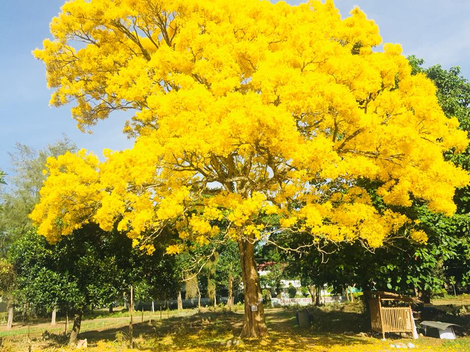 Fascinating yellow tree in central mindanao university bukidnon 27 c mightylinksfo